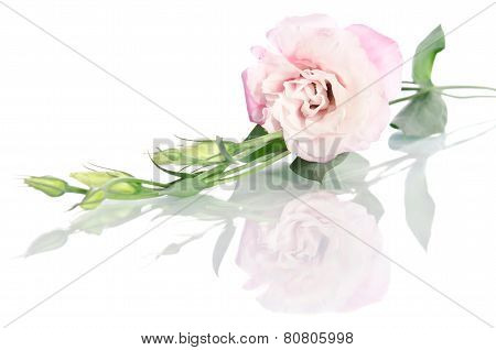 Beautiful Eustoma Flowers With leaves And Buds On White Background