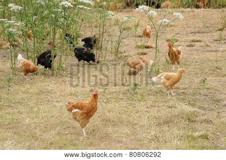France, Poultry Farming In Brueil En Vexin