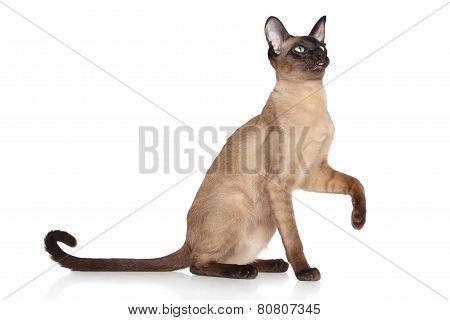 Oriental Siamese Cat