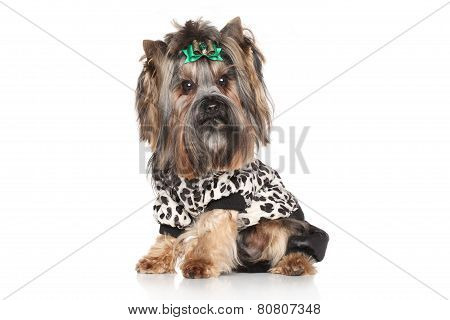 Yorkshire Terrier In Fashionable Clothes For Dogs