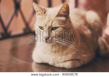 Closeup Portrait Of Beautiful Red Cat