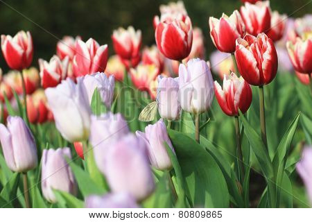 Tulip flowers and butterfly,Curcuma,Common Tulipa,Common Garden Tulipa