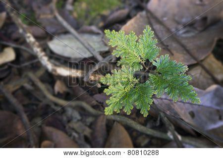 Selaginella Argentea