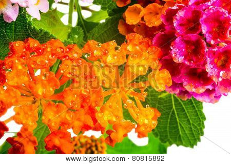 Beautiful Background Of Colorful Lantana Camara Flower With Dew, Closeup