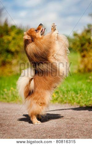 Cute Pomeranian Dog Playing