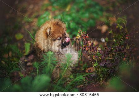 Cute Pomeranian Puppy Licks Muzzle Tongue