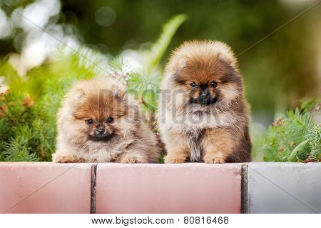 Two Young Puppy Spitz