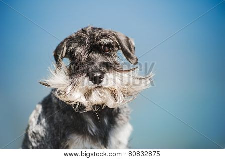 Dreamy Schnauzer On A Blue Background