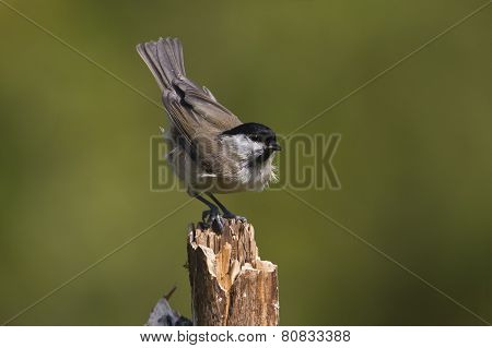 marsh tit standing on a branch, France