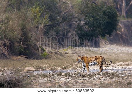 wild female tiger walking along the river, Bardia, Nepal