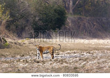 wild female tiger at Bardia national park, Nepal