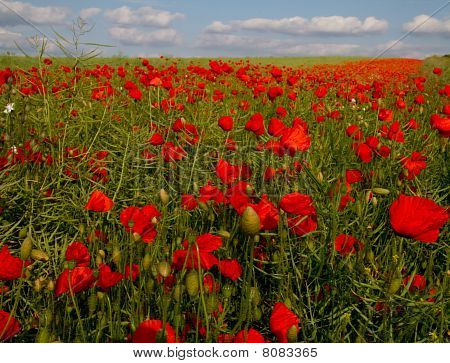 Bloom Of Scarlet Poppies In An Oilseed Rape Field