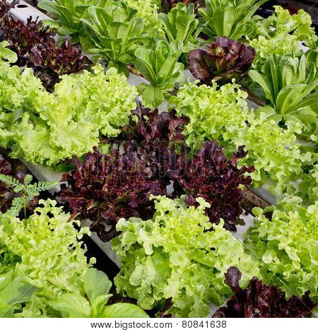 Salad Cultivation