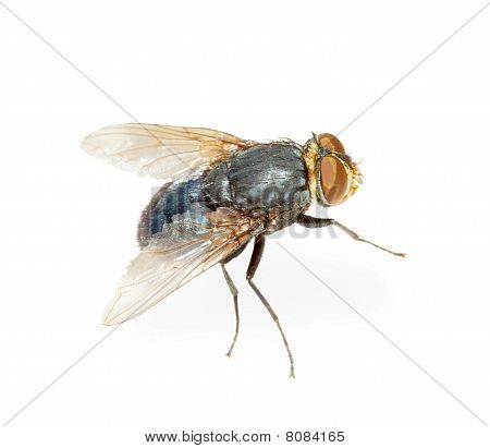 Common Fly - Hotbed Of Infection, Isolated