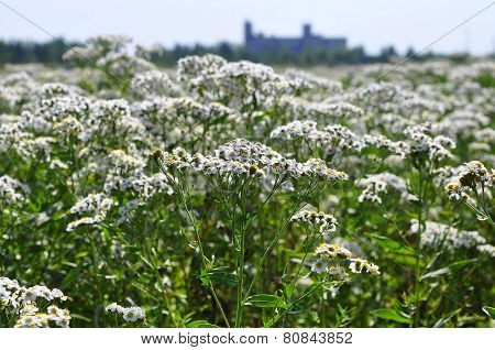 Whole Field Of A Yarrow Of