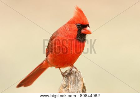 Male Cardinal On A Fence