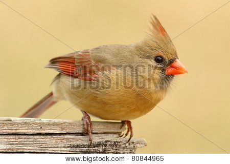 Female Cardinal On A Fence