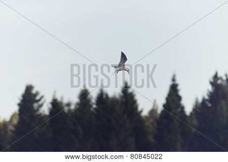 Seagull soars in search of prey on the forest background.