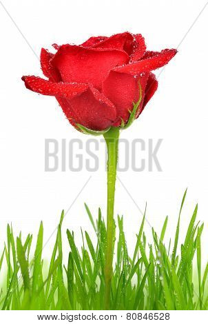 Red rose with dewy green grass