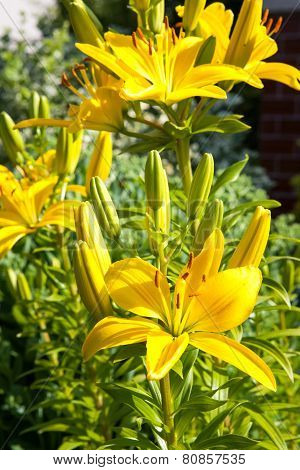 Lilies Blossoming In The Garden