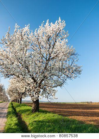 Line Of Cherry Trees