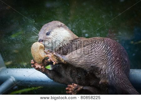 Lovely Otter Plays With Stone