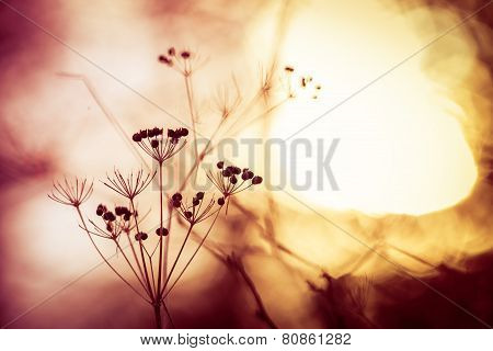 Silhouette Of Dry Wildflower In Meadow During Sunrise