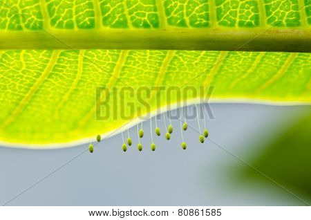 Eggs Of Green Lacewing