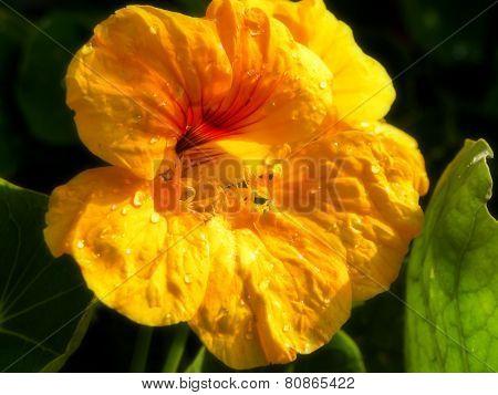 Yellow Nasturtium flower