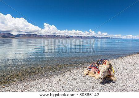 Yak Lying On The Lakeside Of Namtso