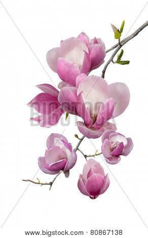 Flowering Branch Of Magnolia