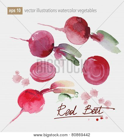 Vector Illustration Of Red Beet, Set Watercolor