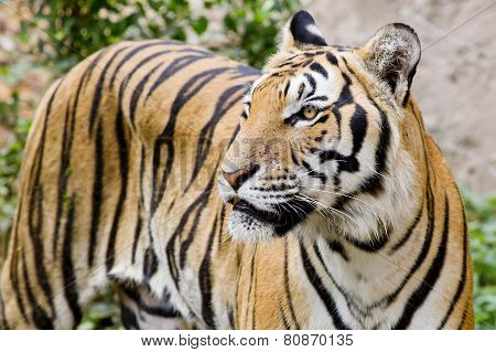 Tiger, Portrait Of A Bengal Tiger.