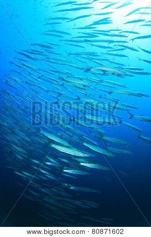 School of Barracuda fish in ocean