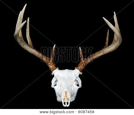European Deer Mount Head On