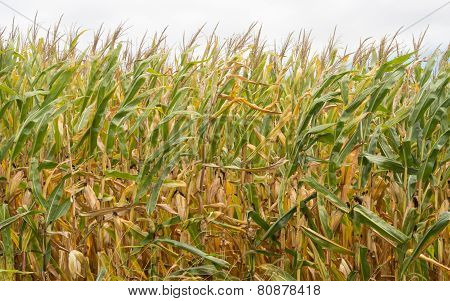 Autumn Cornfield Blowing In The Wind