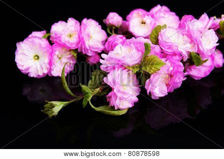 Beautiful fruit blossom isolated on black