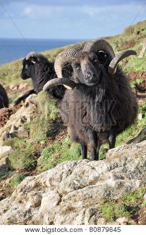 Black Hebridean Ram