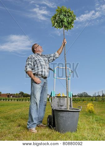 Young man looking upwards at the oak tree ready for planting in the ground