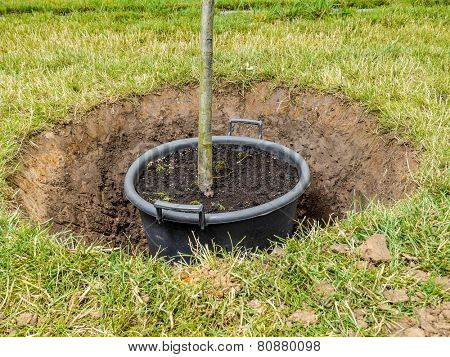 Garden tree being planted into the ground