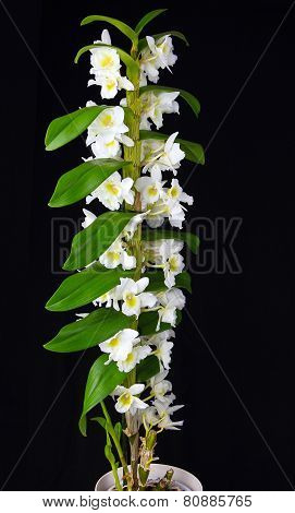 White Dendrobium Orchid Isolated On Black