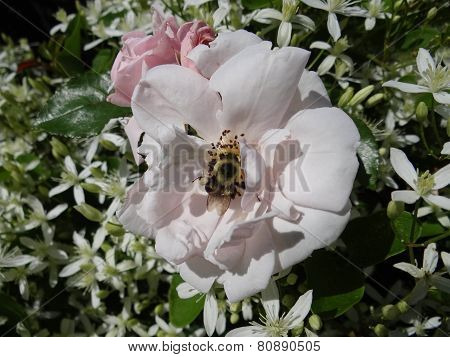 Bumble Bee On Pinkish Rose