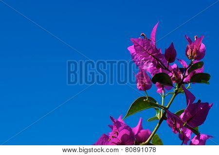 Branch Of Flowering Bougainvillea Against Clear Sky
