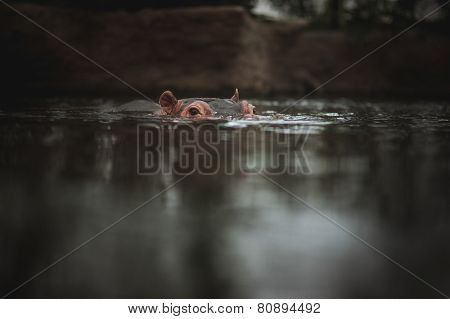 Hippo Holding Head Above Water