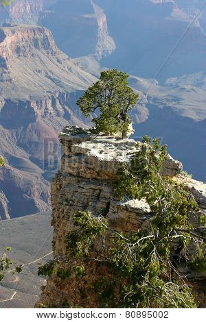 Stubborn Pine Tree Growing Above The Grand Canyon