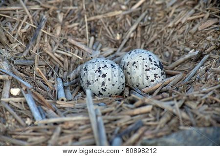 Oyster catcher eggs