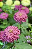 picture of zinnias  - Beautiful pink zinnia flowers in the garden in morning