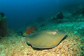foto of stingray  - Stingray  - JPG