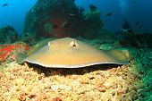 pic of stingray  - Stingray and scuba diver - JPG
