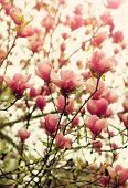 picture of magnolia  - Blooming magnolia tree in springtime - JPG